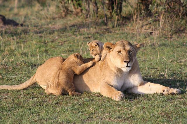 子供を守る母ライオン
